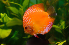 Orange discus Stock Image