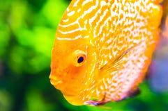 Orange discus fish in aquarium.  royalty free stock image