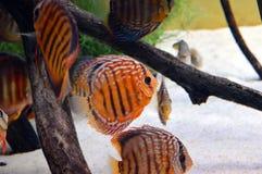 Orange discus fish in aquarium Stock Image