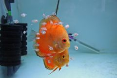 Orange Discus Fish With Babies. A pair of Marlboro Orange Discus Fish with babies feeding from them Royalty Free Stock Images
