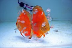 Orange Discus Fish with Babies. A pair of Marlboro Orange Discus Fish with babies feeding from them Royalty Free Stock Photography