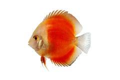 Orange Diskus-Fische lokalisiert auf weißem Hintergrund Stockfotos