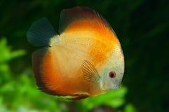 Orange diskus i akvarium Royaltyfria Bilder