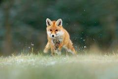 Orange djur för pälslag i naturlivsmiljön Räv på den gröna skogängen Röd räv som hoppar, Vulpesvulpes, djurlivplats från royaltyfria foton