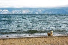Orange dog plays with wave on sand coast. Cute orange dog plays with wave on sand coast of mountain lake Royalty Free Stock Photography