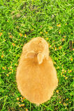 Orange domestic bunny eating corn - bird's eye view Royalty Free Stock Image