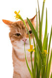 Orange domestic cat and daffodils Royalty Free Stock Photography