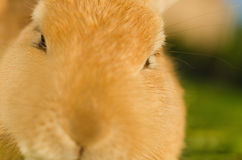 Orange domestic rabbit head shot close up Stock Image