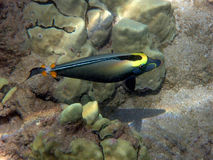 Orange Dorn Unicornfish Stockbild