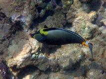 Orange Dorn Unicornfish Stockfotografie