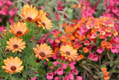 The orange Dorotheanthus growing in the colorful flower bed Stock Photos