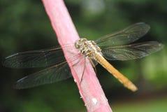 Orange Dragon Fly auf Stange lizenzfreie stockbilder