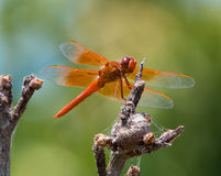 Orange Dragon-fly Stock Images