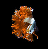 Orange dragon siamese fighting fish, betta fish isolated on black background. royalty free stock images