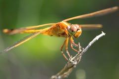Orange dragonfly Stock Image
