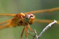 Orange dragonfly Royalty Free Stock Photo