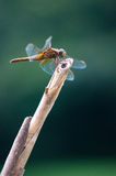 Orange Dragonfly Royalty Free Stock Photo