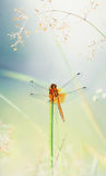 Orange Dragonfly. In water drops at early morning stock photo