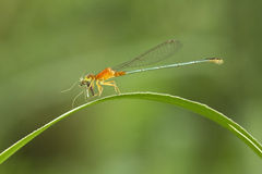 Orange dragonfly Stock Images