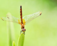 An Orange Dragonfly Royalty Free Stock Image