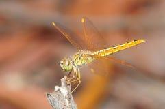 Orange dragonfly Stock Photo
