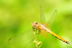 Orange Dragonfly. A close up picture of an orange dragonfly resting stock photo