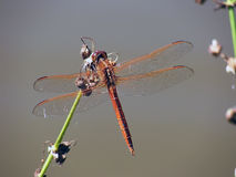 Orange dragonfly. Perched on a twig royalty free stock photo