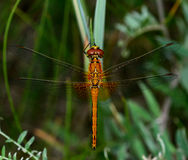 Orange dragonfly. Big orange dragonfly on a blade of grass. With small, red mites on the body Stock Photography