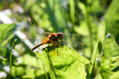 An orange dragonfly on a blade of grass Royalty Free Stock Photography