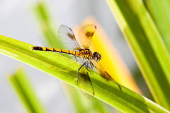 Orange Dragonfly on Blade of Grass. A dragonfly at rest on a blade of grass Royalty Free Stock Photography