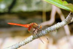 Orange Dragonfly stock photo