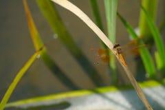 Orange Dragonfly is on the grass leaf. Orange Dragonfly is hang on the grass leaf royalty free stock image