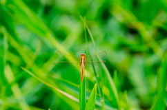 Orange dragonfly on a grass on a meadow in Stock Image
