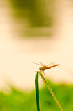 Orange dragonfly on a grass on a meadow in sunset light Stock Image