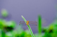 Orange dragonfly on a grass on a meadow in sunset light Royalty Free Stock Photography