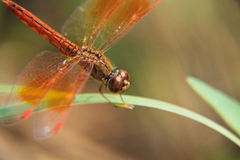 Orange dragonfly in green background Stock Photo