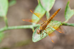 Orange dragonfly Stock Image