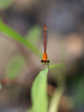 Orange Dragonfly on Green Leaf Royalty Free Stock Photos