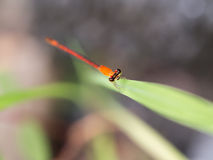 Orange Dragonfly on Green Leaf Royalty Free Stock Images