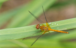 Orange dragonfly on a green leaf. Orange dragonfly sitting on a green leaf Royalty Free Stock Image