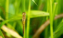 An orange dragonfly with greenish background. Photo of an orange dragonfly with greenish backgrund taken with nikon d3200 and fujinon 55mm lens stock photography