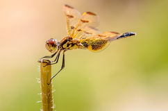 Orange Dragonfly. On his perch with a green background Stock Images