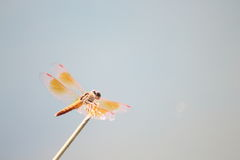 An orange dragonfly holds a twig. Stock Images