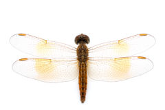 Orange dragonfly Royalty Free Stock Photos