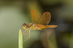 Orange dragonfly on leaf. Macro close up detail Stock Photos