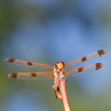 Orange dragonfly Royalty Free Stock Photography