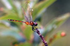 Orange dragonfly perches on twig royalty free stock images
