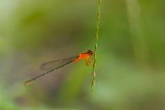 Orange Dragonfly. A photo of orange dragonfly on flower stock photo