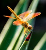 Orange Dragonfly on Red and Green Leaf Royalty Free Stock Image