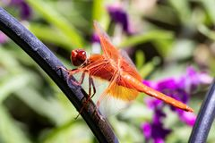 Orange dragonfly resting on a fence in the garden stock image